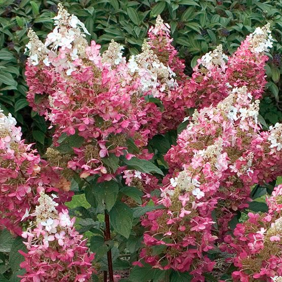 Fine Gardening Plant Guide~Hydrangea paniculata 'Pinky Winky' Hardiness Zones: 3-7 Gracefully arching branches and pyramidal clusters of white, then pink-tinged to dusky purple blossoms. This is one of the most cold-hardy species. It may be grown as a single-stemmed specimen or as a multi-stemmed shrub. Grow in moist, but well-drained soil, in sun to partial shade. Blooms on the current season's wood. 15 ft. to 30 ft. High 10 ft. to 15 ft. Wide Light:Full Sun to Part Shade