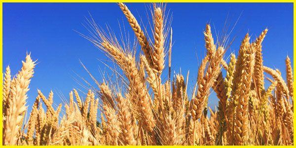 Der Anbau von Getreide ist vorwiegend auf neuere, ertragreiche Getreidesorten…