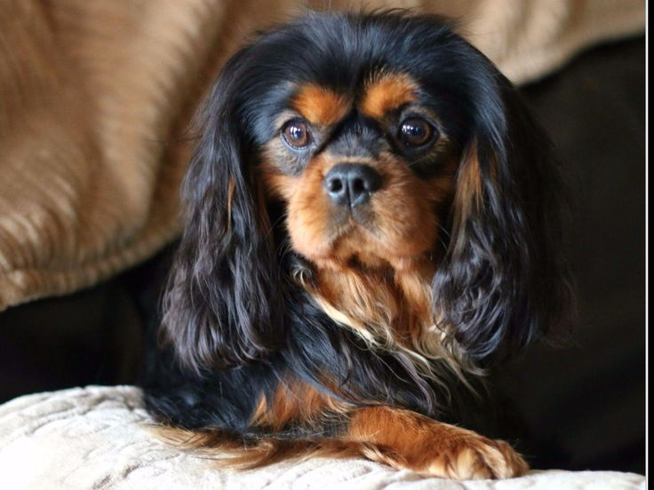 Cavalier King Charles Spaniel for sale in Athens, TN by Marino's Precious Cavaliers on American Kennel Club Marketplace