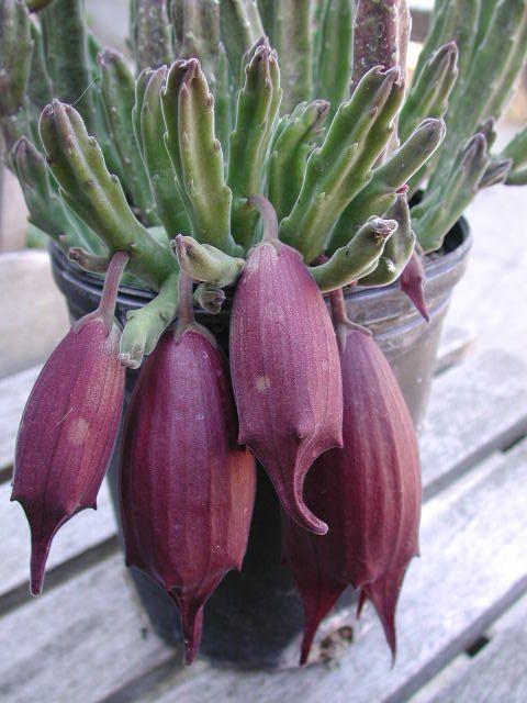 Rare Stapelia leendertziae Amazing flower by SteveSuperGardens