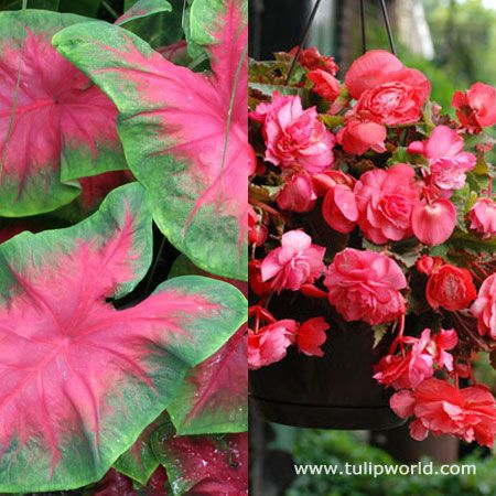 Buy Shade Basket And Border Collection Bulbs And Other Bulbs Including:  Caladiums Collections With Per Package.
