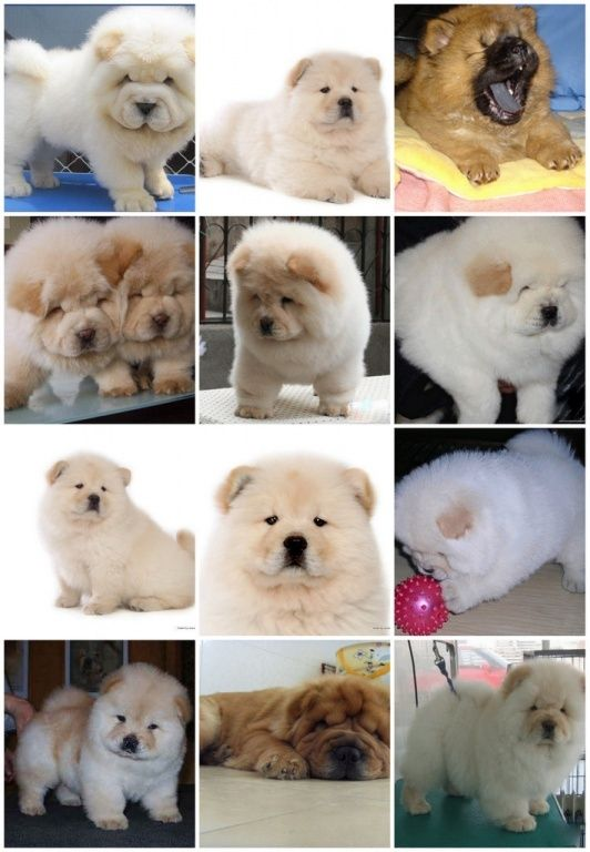 Chow Chow puppies (macmanussaddy@gmail.com) | Puppies for Sale