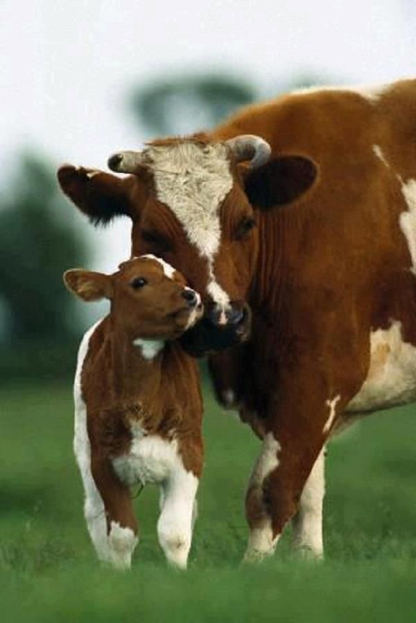 A mother gently nuzzles her beloved calf. Most calves in America have only a few days with their mothers before they are ripped away to be slaughtered (males) or confined and fed formula (females). Ditch the dairy, go #vegan