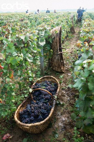 A basket of Grenache grapes lays in a vineyard row .. Burgundy, France