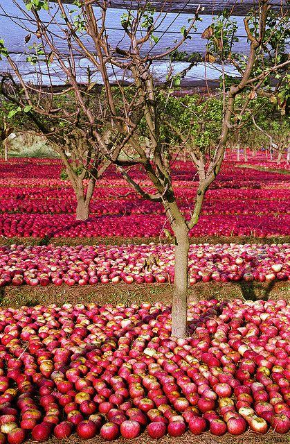 apples, Mugnano di Napoli, Naples, Italy.  Photo: fabbiomenna, via Flickr