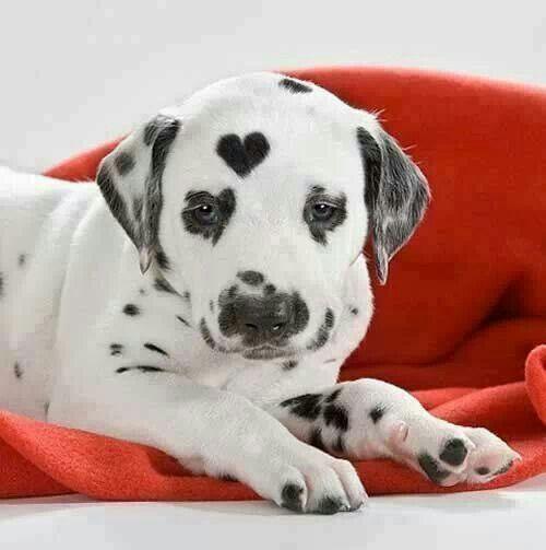 Süßer Dalmatiner mit Herz