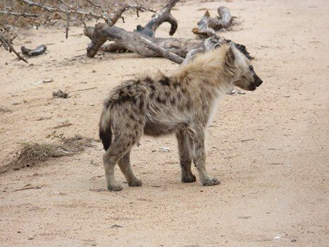 Did you know that there is no love lost between lions and hyaenas. Each will attack and kill the other's cubs, or elderly or sick individuals. Hyaenas seem far less intimidated by lionesses than by lions, and are occasionally bold enough to try to bully lionesses off a kill if there are no males around.