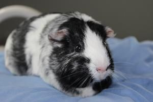 Arya is an adoptable Short-Haired Guinea Pig in Centerville, MA.  ...