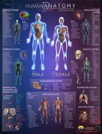 The 25+ best Human anatomy chart ideas on Pinterest Human - muscle chart template