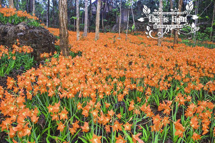 [Gunungkidul, DI Yogyakarta] Kebun Bunga Berambang Procot (Amaryllis) | angkisland.com