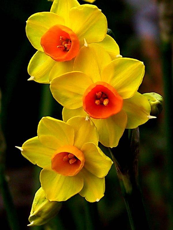 Flor de Narciso Amarela