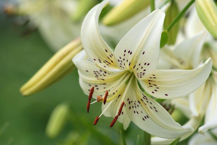 fleur-lys-blanche-bourgeon (1023×682)