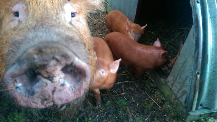 I was trying to get some pictures of the weaners now they're in the woods. This one is my favourite!