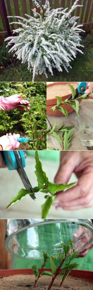 Размножение спиреи осенью и весной | Дача - впрок | сад | Постила