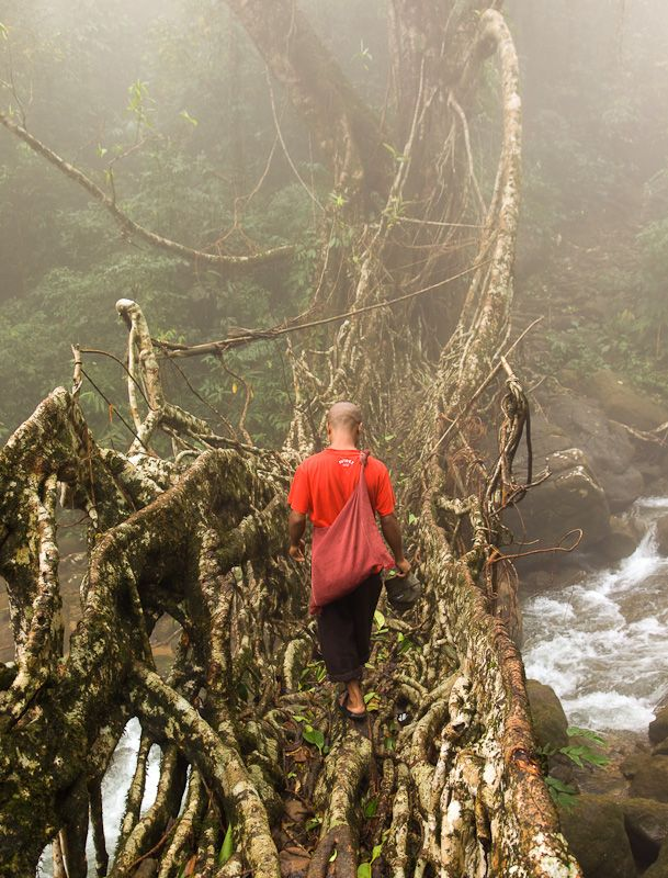 Living root bridge, provide the Khasi with a means of crossing rivers in the cloud forest Cherrapunjee, India  Copyright: Neil Harris