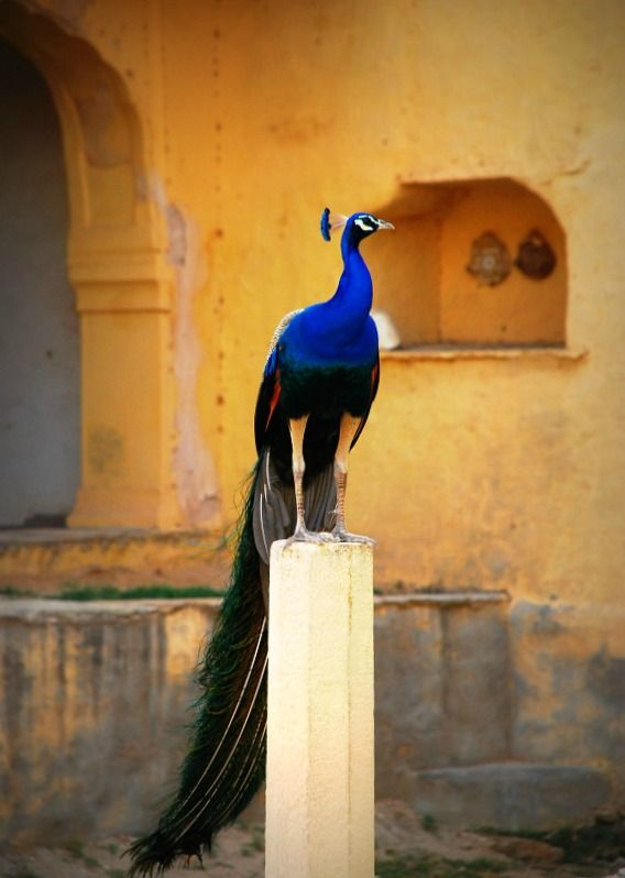 The national bird of India, posing in Rajasthan.