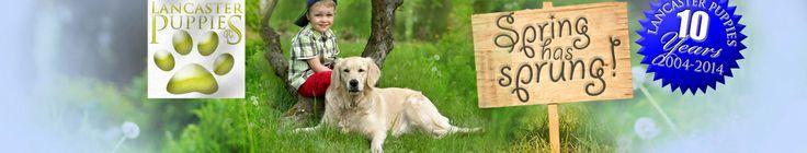 Toby - Labrador Retriever Puppy for Sale in Leola, PA