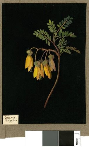 Sophora Tetraptera, from an album (Vol.IX, 26). 1779 Collage of coloured papers, with bodycolour and watercolour, on black ink background