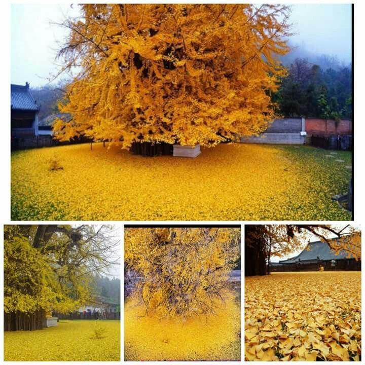 Come una pioggia d'oro.   Si chiama Ginkgo, l'albero più antico del mondo. E in autunno le sue foglie cadono creando un meraviglioso tappeto dorato