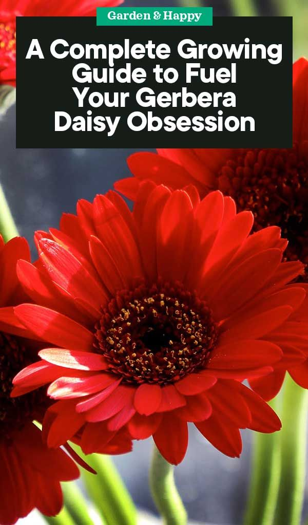 A Complete Growing And Care Guide For Gerbera Daisy With Images Gerbera Daisy Gerbera Gerbera Plant