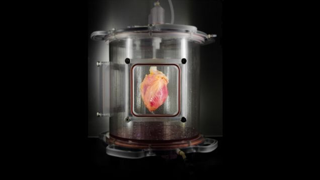 What looks like a prop from a steampunk movie is actually a partially decellularized heart in a bioreactor. And this heart has the potential to save the lives of heart attack patients, and, one day, people who need heart transplants too.