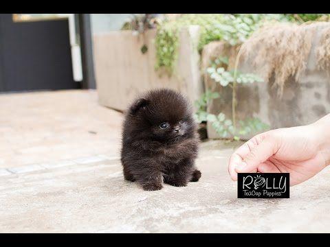 True Teacup Black Pomeranian Teddy Bear!! Kasey - Rolly Teacup Puppies - YouTube