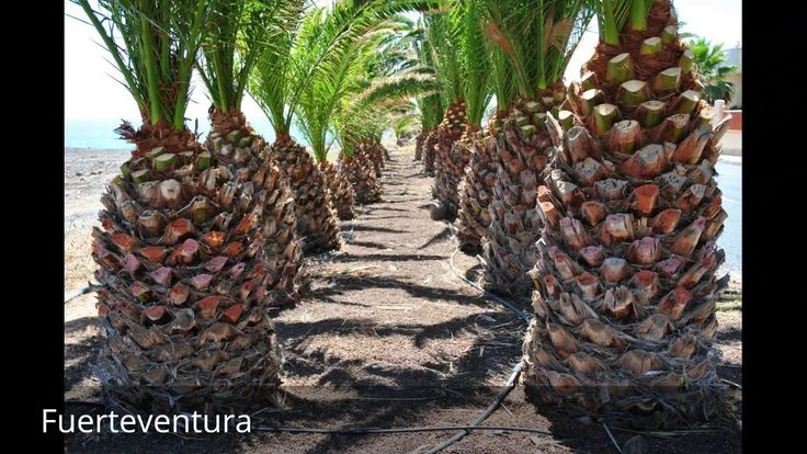 """Places to see in ( Fuerteventura - Spain )  Fuerteventura the second largest of Spains Canary Islands sits in the Atlantic Ocean 100km off the north coast of Africa.  Fuerteventura literally meaning """"strong fortune"""" but translated by some as """"Strong Winds"""" or a corruption of the French term for """"Great Adventure"""") is one of the Canary Islands in the Atlantic Ocean off the coast of Africa politically part of Spain. At 1660 square kilometres (641 square miles) Fuerteventura is the second…"""