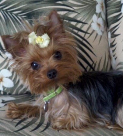 yorkie and maltese 1000 images about morkies yorkies maltese on pinterest 4370