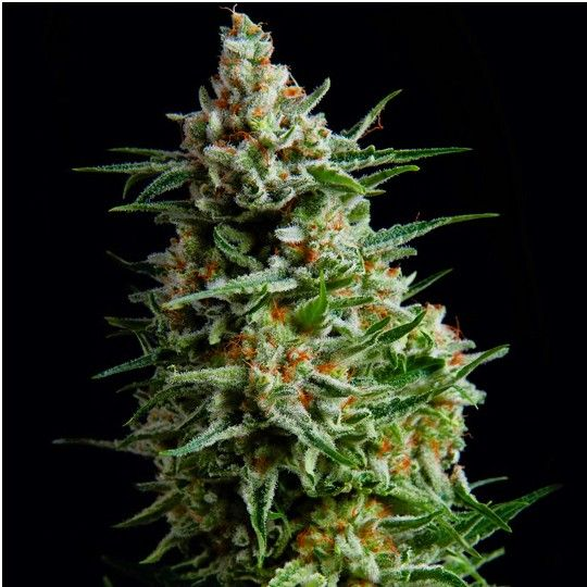 Super Skunk auto-Fem Skunk 1 crossed with an Afghan strain this Super Skunk is virtually indestructible. Very resistant to pests…