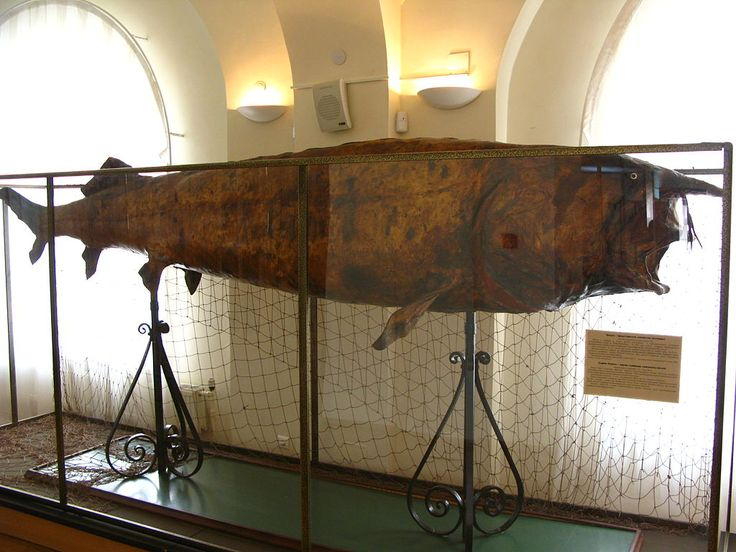 Beluga - Beluga (sturgeon) - Wikipedia, the free encyclopedia