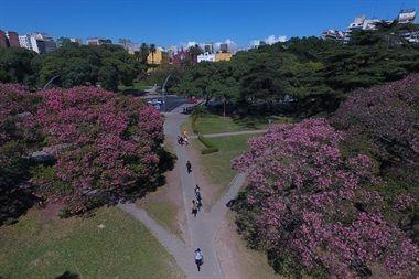 Cuando la ciudad se empieza a vestir de marrón por el otoño, los palo borrachos florecen