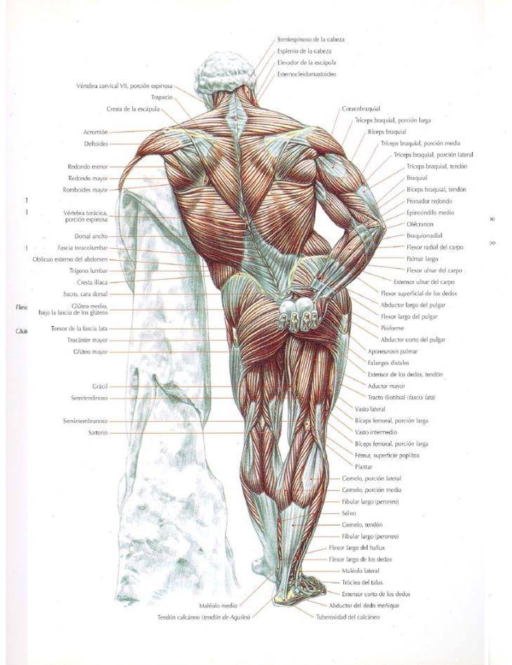 Mejores 228 imágenes de Anatomy en Pinterest | Anatomía humana ...