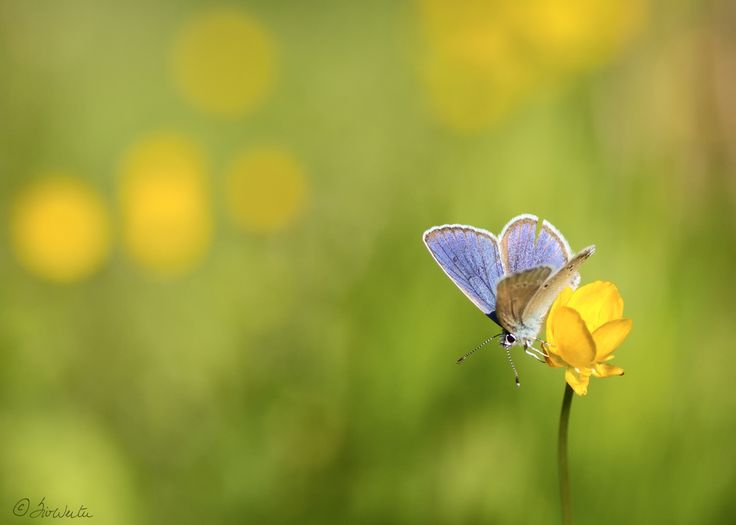 Blue butterfly by Siv Wester on 500px