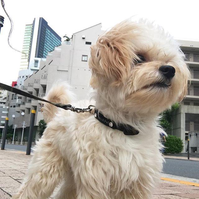 そろそろお毛毛がもっさりッ😊  #tokyo#toypoodle#chihuahua#chihuapoo#toypoodlemix#chihuahuamix#instadog#dog#poodlestagram#プーチー#チワプー#mix犬#トイプードル#トイプー#チワワ#mix犬同好会#ミックス犬#獅子丸#ミミ丸#愛犬#愛犬家#犬バカ#토이푸들#치와와