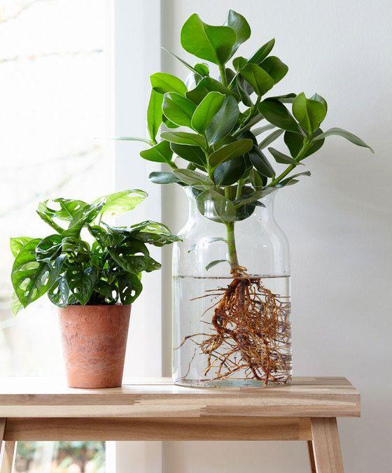 De spectaculaire Clusia op water is niet zomaar een plant voor in de woonkamer. Het is dé nieuwste trend en een regelrecht eyecatcher voor in het interieur! Niks geen 'gewoon' plantje in de vensterbank. De DIY Clusia op water is nieuw, verrassend en origineel. Spoel de wortels van de Clusia eenvoudig uit en zet de kamerplant in de glazen vaas met water. Met de Clusia op water heeft u maandenlang iets moois in huis! Geleverd wordt een Clusia op pot (potmaat 17 cm) inclusief glazen vaas...