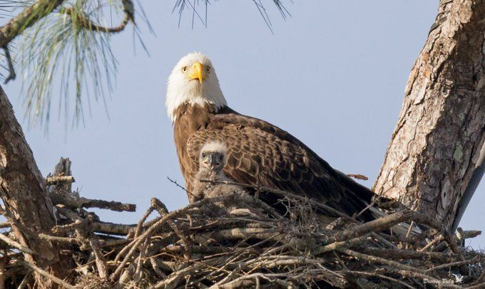 Harriet and little E9. Southwest Florida Eagle Cam, Pritchett Real Estate. 2017.