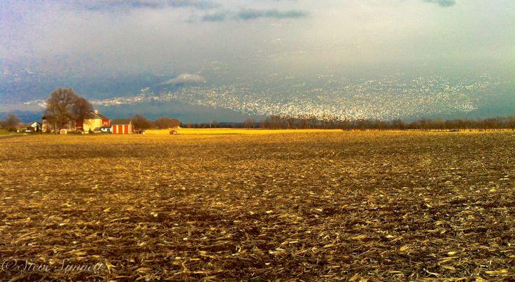Snow Geese Farm