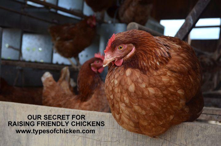 25 best ideas about how to raise chickens on pinterest