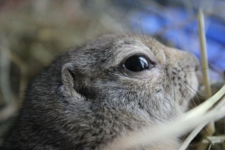 Il dorso è di colore marrone grigio; il ventre è giallo, mentre mento e gola sono bianchi. Le orecchie sono piccole e la coda è corta, ricoperta di peli. Nel complesso, l'aspetto è molto simile a quello del cane della prateria, anche se la taglia è molto più ridotta. I citelli adulti raggiungono una lunghezza di circa 20 cm e un peso di 200-400 grammi. La vita media è di 5-6 anni.