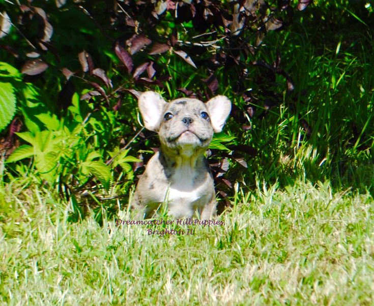 AKC French Bulldogs, blue merle puppies! We do OFA