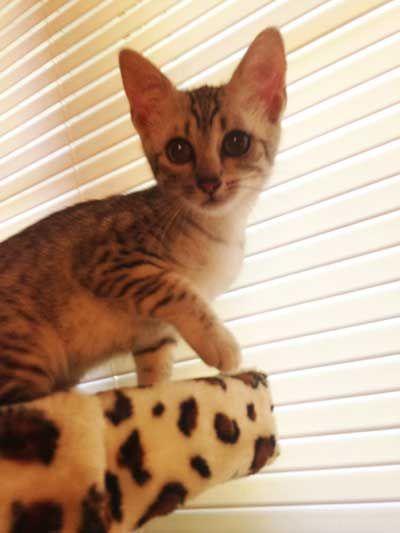 Savannah Cat Breeders - Savannah Cats, Bengal Cats For Sale