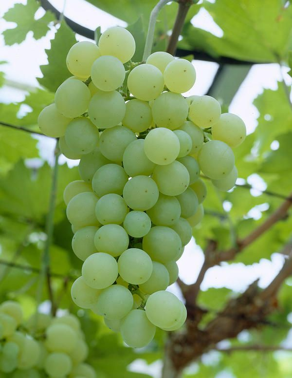 Viiniköynnös Sukribe - Viherpeukalot