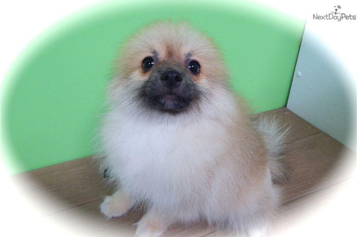 Toy Pom: Pomeranian puppy for sale near Chicago, Illinois   a26d6b8e-39d1