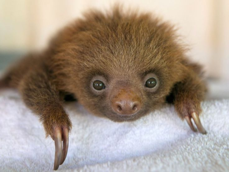 Baby Hoffmanns Two-Toed Sloth, Costa Rica