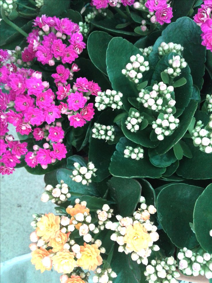 Seguimos con otra suculenta muy atractiva: Kalanchoe blossfelsiana!!