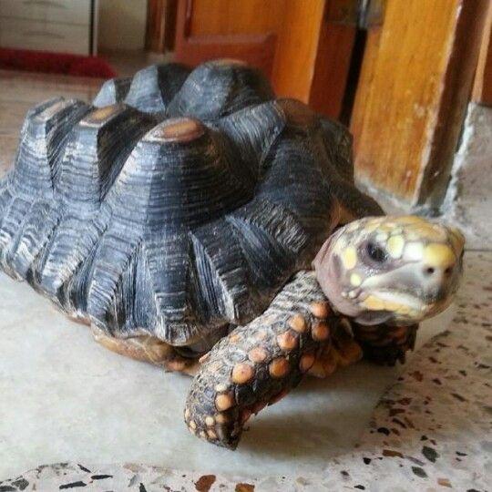 Doña tortuga.