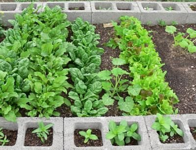 Cinder block is an AWESOME building material for raised garden beds. Inexpensive to purchase, no rotting wood to replace, and little pockets on the edges for growing herbs and/or flowers to cascade down your garden walls. TRY IT!