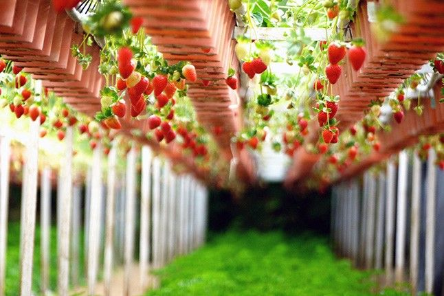 황후의 과일, 딸기 이미지 1