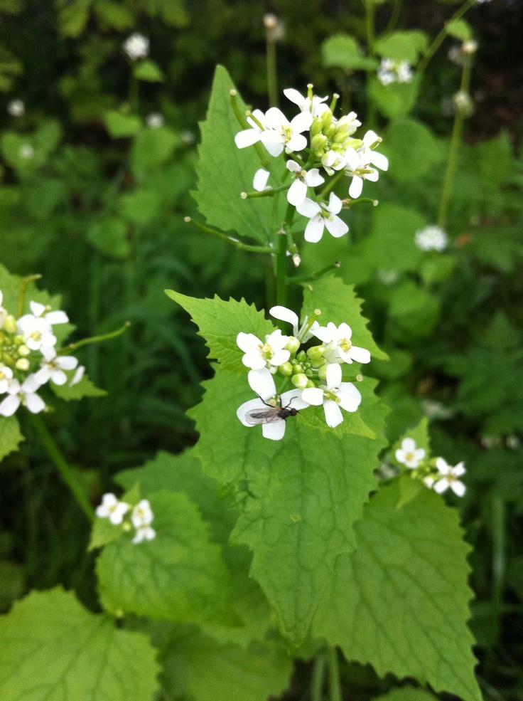 >Look zonder look - Alliaria petiolata - in sla: Alliaria Petiolata, Petiolata Witness, Zonder