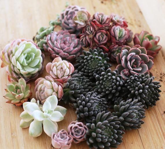 Rare Boite Succulent Mystery Avec Images Succulentes Plante